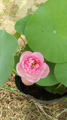 安徽省合肥市包河区荷花  20~30cm 真品碗莲种藕免费分享