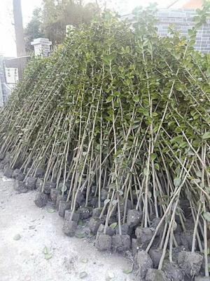 贵州省贵阳市白云区茶花树 140cm以上
