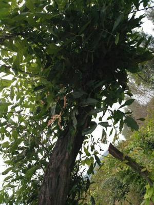 河南省南阳市桐柏县多花紫藤 2.5~3米 5公分以上