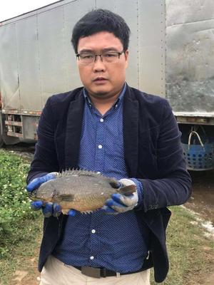 海南省海口市美兰区攀鲈鱼 野生 0.5公斤以下
