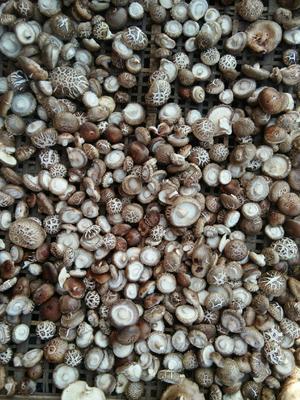 河南省南阳市内乡县香菇808 鲜香菇 2.5cm~4cm 春菇