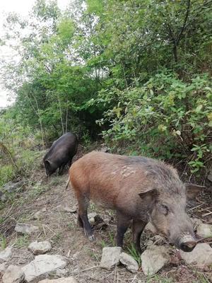 四川省内江市资中县生态野猪 统货 120斤以上