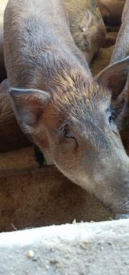 黑龙江省牡丹江市林口县特种野猪 统货 60斤以上