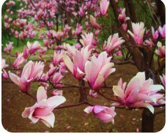 这是一张关于紫玉兰  紫霞的产品图片