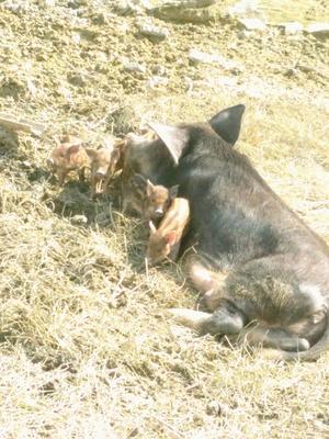 四川省广安市邻水县土猪 160斤以上