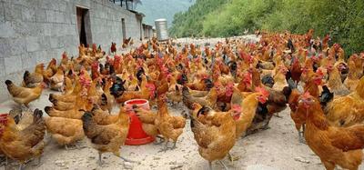 这是一张关于青脚土鸡 3-4斤 统货 的产品图片