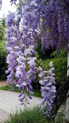 山东省泰安市岱岳区多花紫藤  1.5~2米 2~3公分 紫藤苗