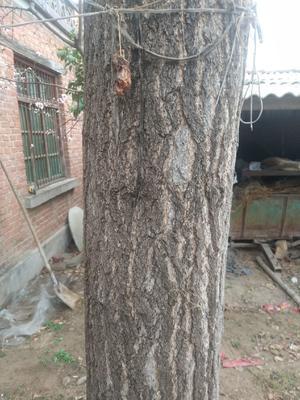 这是一张关于银杏实生树 的产品图片