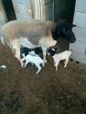 这是一张关于杜泊绵羊 30-50斤 的产品图片