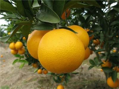 这是一张关于夏橙 60 - 65mm 4两以下 的产品图片