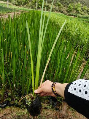 广西壮族自治区梧州市龙圩区水菖蒲