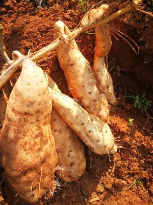 这是一张关于山地薯淀粉 1.5斤以上 白皮 的产品图片