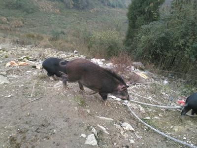 四川省广安市邻水县特种野猪  统货 160斤以上
