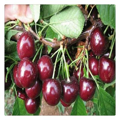 这是一张关于大紫拉宾斯苗 的产品图片