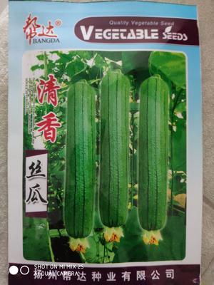 江苏省宿迁市沭阳县丝瓜种子  翠绿色短棒型清香丝瓜