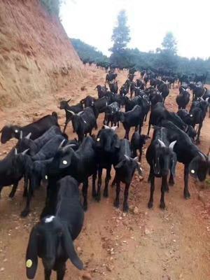 江西省萍乡市芦溪县努比亚羊 50-80斤