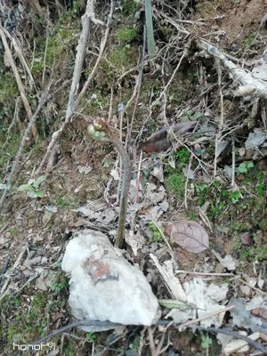 这是一张关于高山蕨菜 鲜货 的产品图片