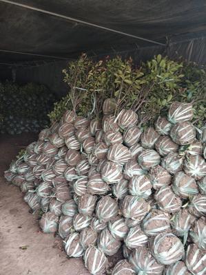 这是一张关于红叶石楠 的产品图片
