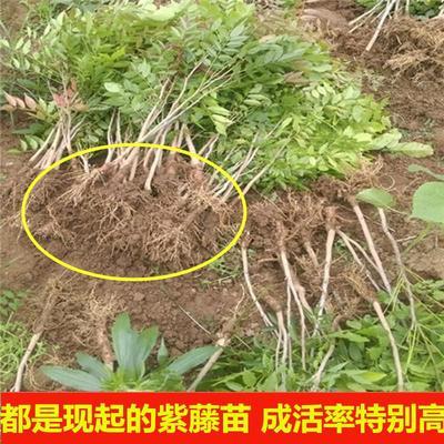 江苏省宿迁市沭阳县多花紫藤 0.5米以下 1公分以下