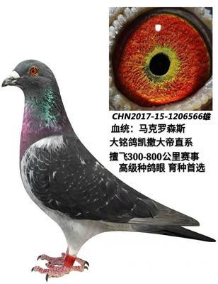 这是一张关于信鸽 400-500克 的产品图片