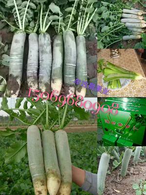 潍县青萝卜 2~2.5斤