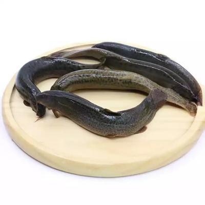 湖南省湘潭市岳塘区野生泥鳅 野生 5-8cm 50-60尾/公斤