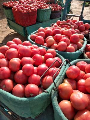 甘肃省武威市凉州区硬粉番茄 精品 弧三以上 硬粉