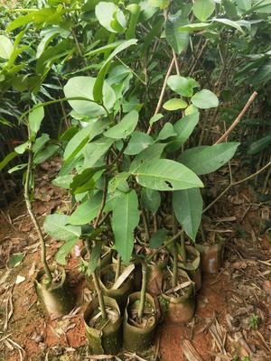 这是一张关于大叶红莲雾苗 的产品图片