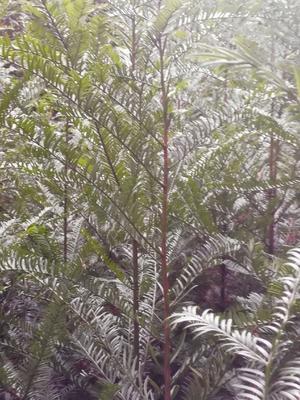 湖南省湘潭市湘乡市曼地亚红豆杉 3.5米~5米