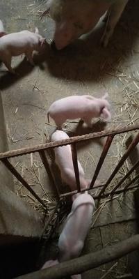四川省绵阳市江油市大白猪 200-300斤