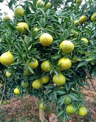 黄金贡柚苗 品种正宗,根须发达