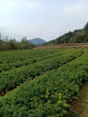 这是一张关于杉木树苗 的产品图片