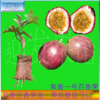 这是一张关于紫香一号百香果苗 的产品图片