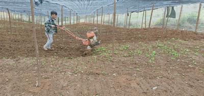 三七种子 可以直接拌农药下种