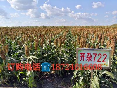 黑龙江省哈尔滨市道里区红高粱种 杂交种 ≥80%