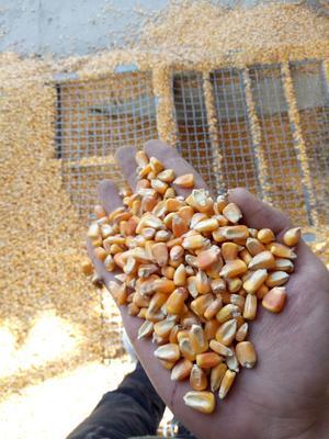 这是一张关于玉米干粮 净货 水份14%-16% 的产品图片