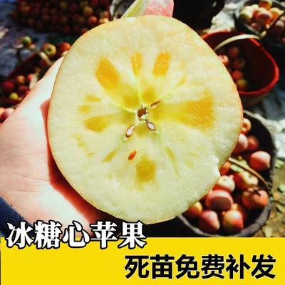这是一张关于冰糖心苹果苗 0.5~1米 的产品图片