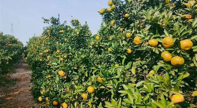 江西省新余市渝水区新余蜜橘 7 - 7.5cm 2 - 3两
