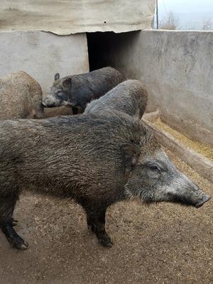 甘肃省平凉市灵台县特种野猪 统货 100斤以上