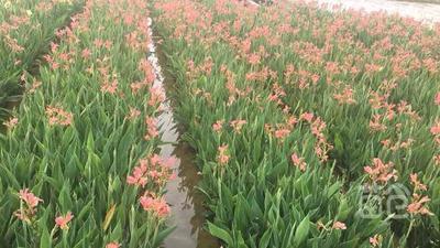 广西壮族自治区梧州市龙圩区粉美人蕉 14~16cm 0.5~1米