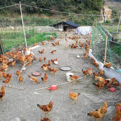 这是一张关于土鸡 2-3斤 公 的产品图片