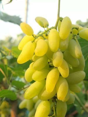 金手指葡萄苗 品质优良 南北方种植 明年挂果