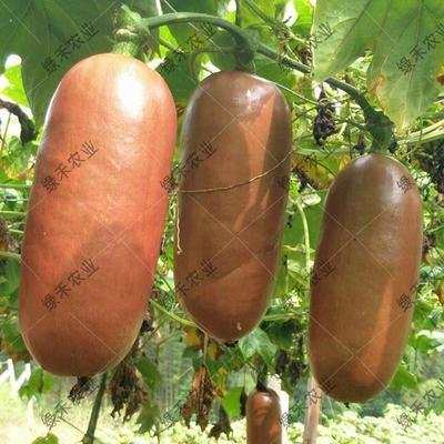 山东省济南市槐荫区香如蜜种子  火腿瓜籽 优质水果籽 香水瓜