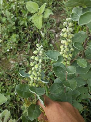 蔓荆子苗 扦插枝条(单叶正品)