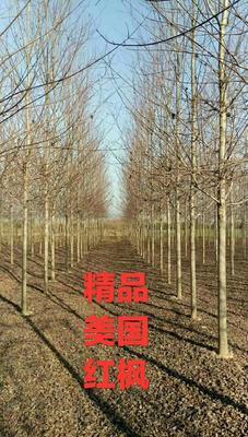 山东省菏泽市郓城县美国红枫