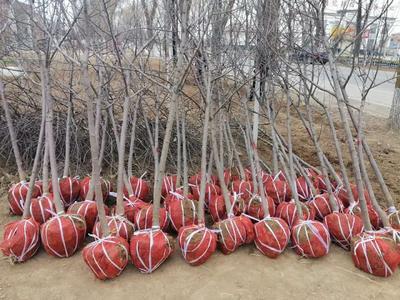 甘肃省平凉市崆峒区红富士苹果苗 1.5~2米