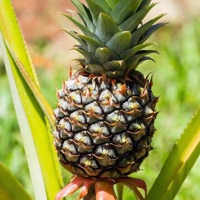 广东省韶关市翁源县香水小菠萝 2 - 2.5斤