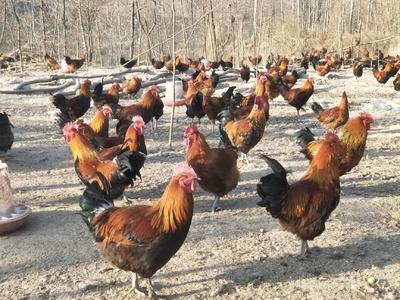这是一张关于土鸡 nullnull nullnull 的产品图片