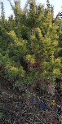 这是一张关于甘肃云杉 的产品图片