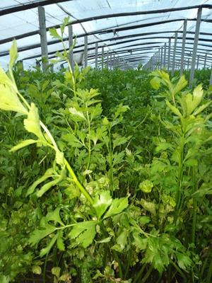山东省青岛市平度市玻璃脆芹菜 60cm以上 0.5~1.0斤 大棚种植
